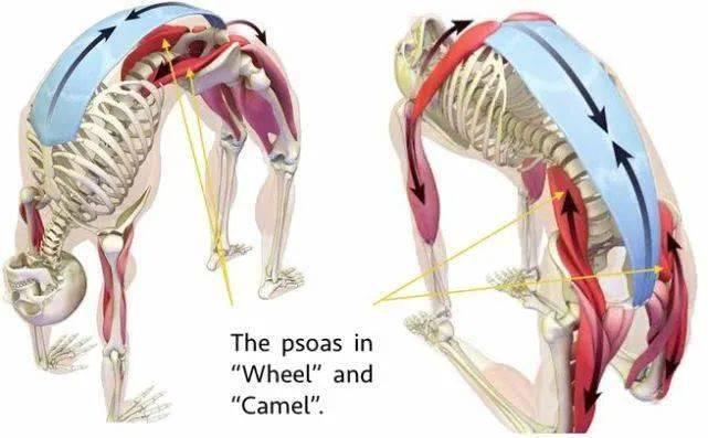 拉伸这些年,其实我们都忘了放松髂腰肌!7个动作深度释放髂腰肌
