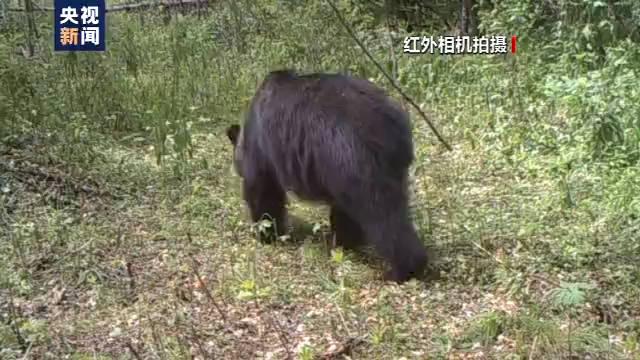 小兴安岭首次找到东北虎吃熊珍贵影像证据,现场留有虎的卧迹