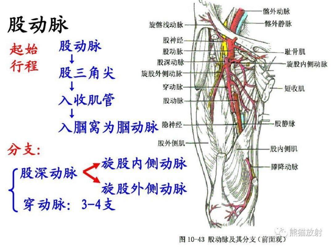 下肢动脉解剖图