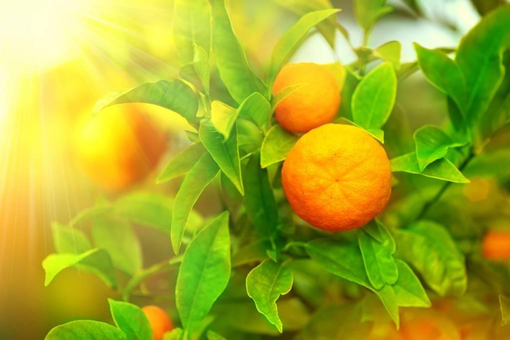 柑橘农药减施增效技术