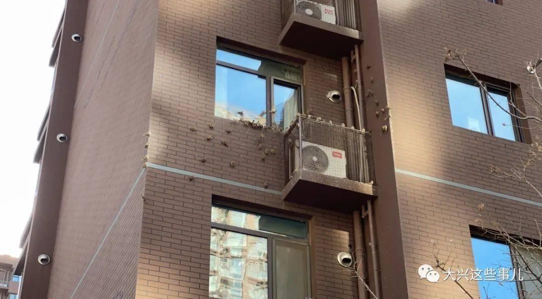 【什么情况】大兴一小区居民楼外墙上停满了麻雀…