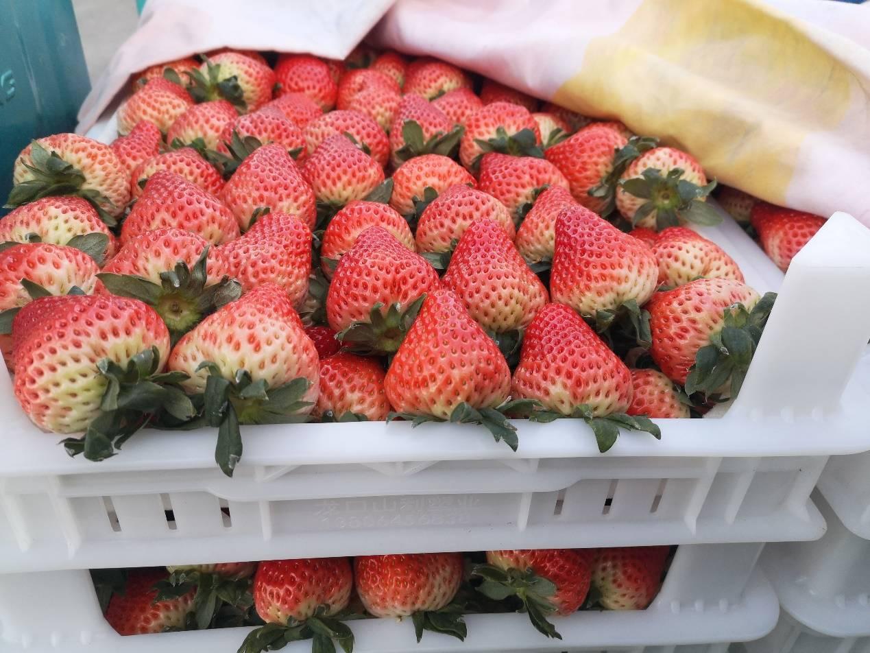 """草莓产业新模式:安徽长丰草莓小镇即将""""呱呱落地"""""""