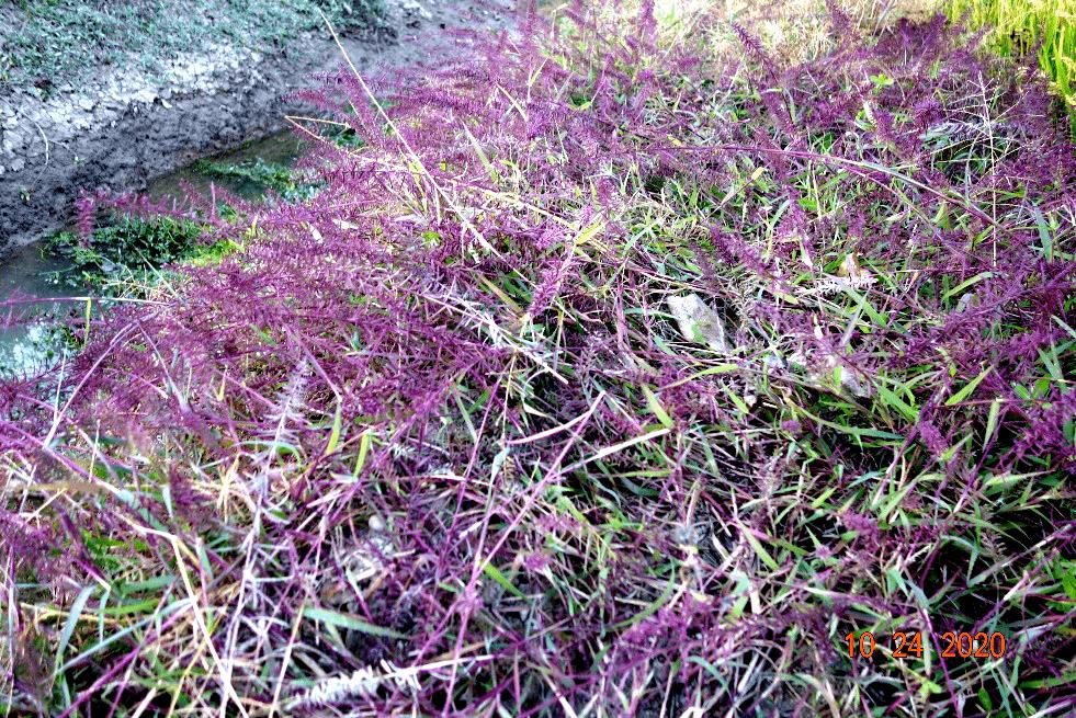 灌云县生物多样性调查发现新分布植物——弯穗草