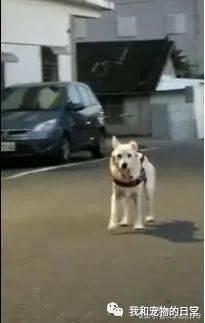 狗狗刚睡醒,走路脚不听使唤,呆萌的模样怪可爱的!