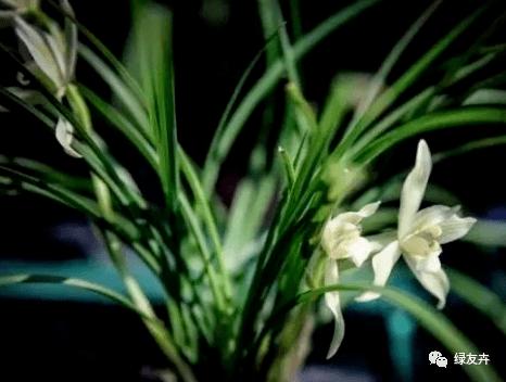 兰花上盆能否马上浇定根水?区分对待,服盆快,不容易黄叶!