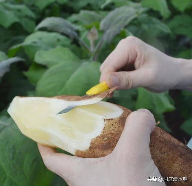 雪莲果怎么吃最好(雪莲果的正确吃法)
