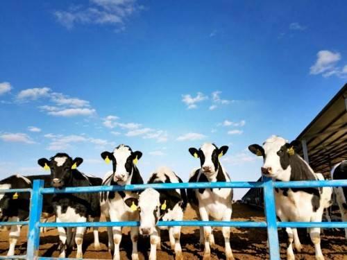 如何才能打造极致纯净的有机奶?这家叫圣牧的企业是这么做的