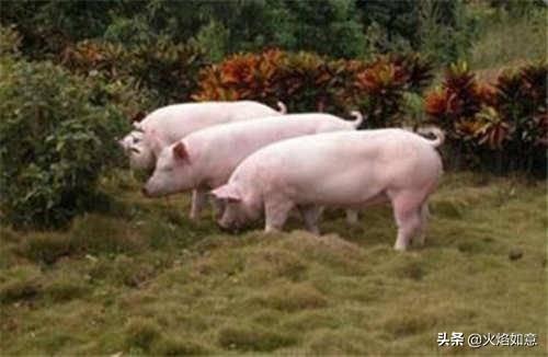 现在养猪前景如何(马云预测未来五年养猪趋势)