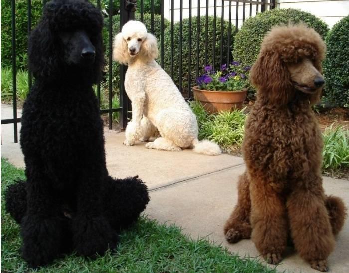 巨型泰迪犬多少钱一只(巨型泰迪犬为什么这么贵)插图(3)