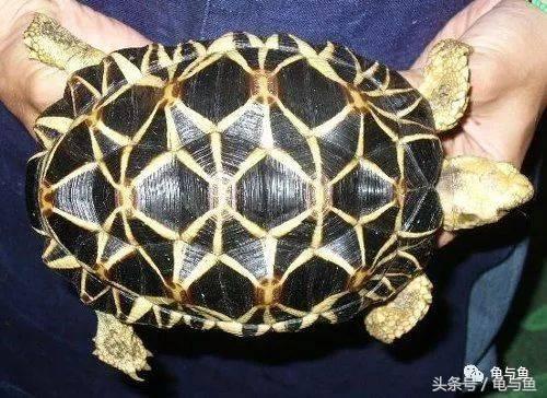 大鳄龟寿命(新手大鳄龟好养吗)插图(6)