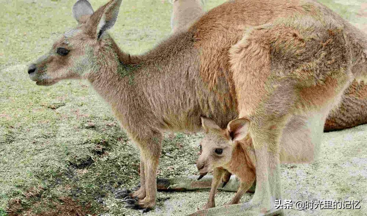 考拉是什么动物的别称(为何澳大利亚国徽不是考拉呢)插图(4)