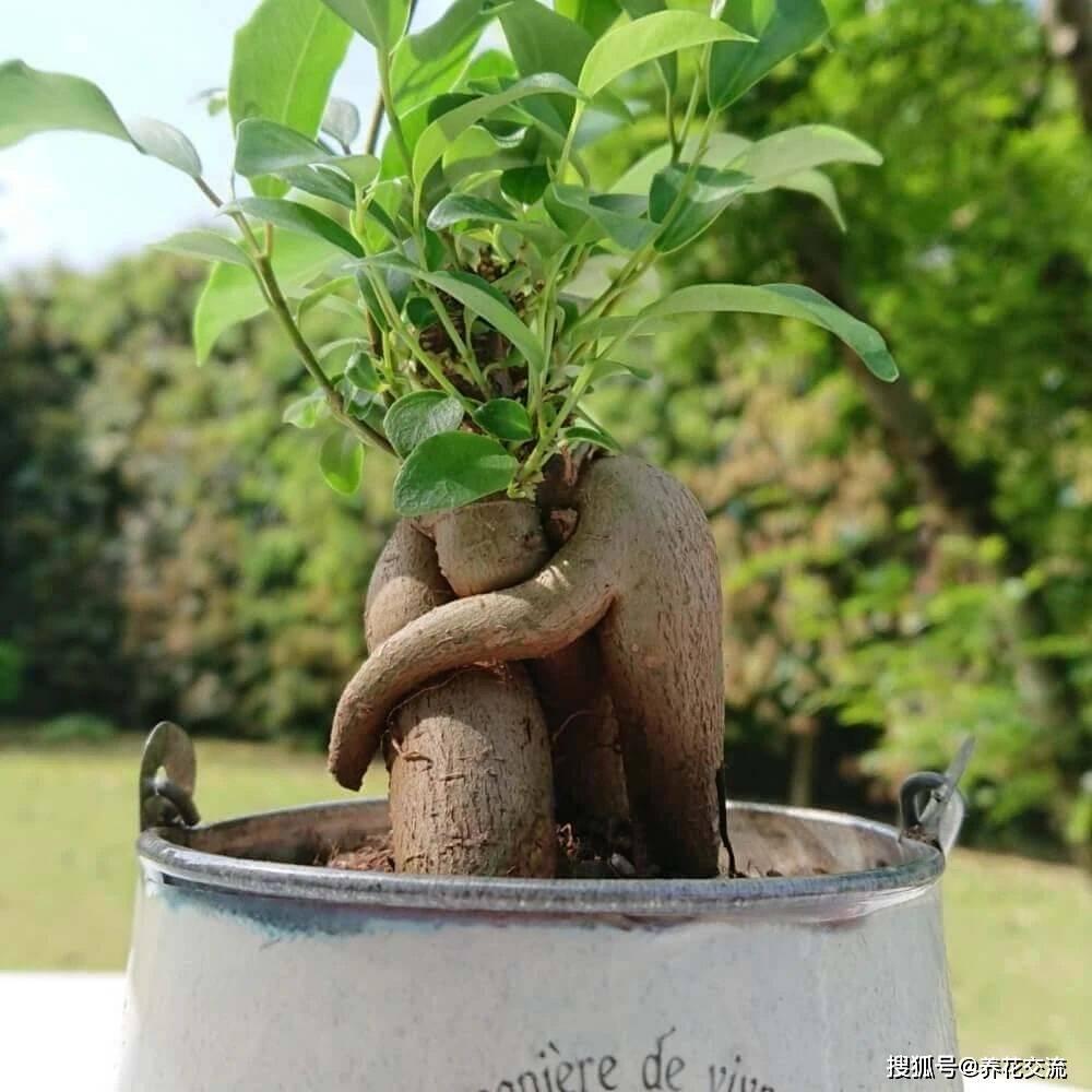 人参榕树盆景图片图片