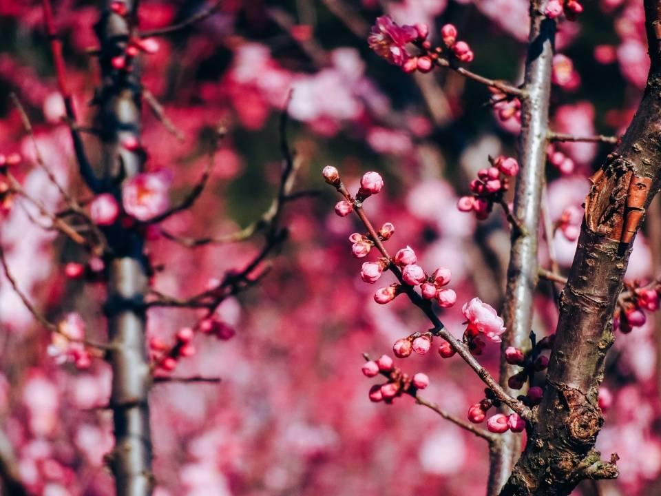 原创             江南第一波花潮导航家庭出游,无锡梅园百年芳馨,聊赠旅人一枝春