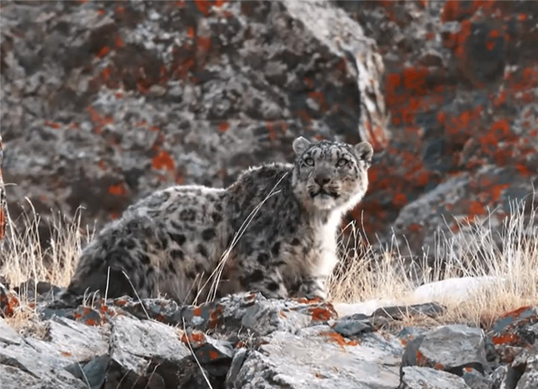 新疆巴州草原出现一只雪豹,冲上去咬死2只羊,吃饱后还拖回1只