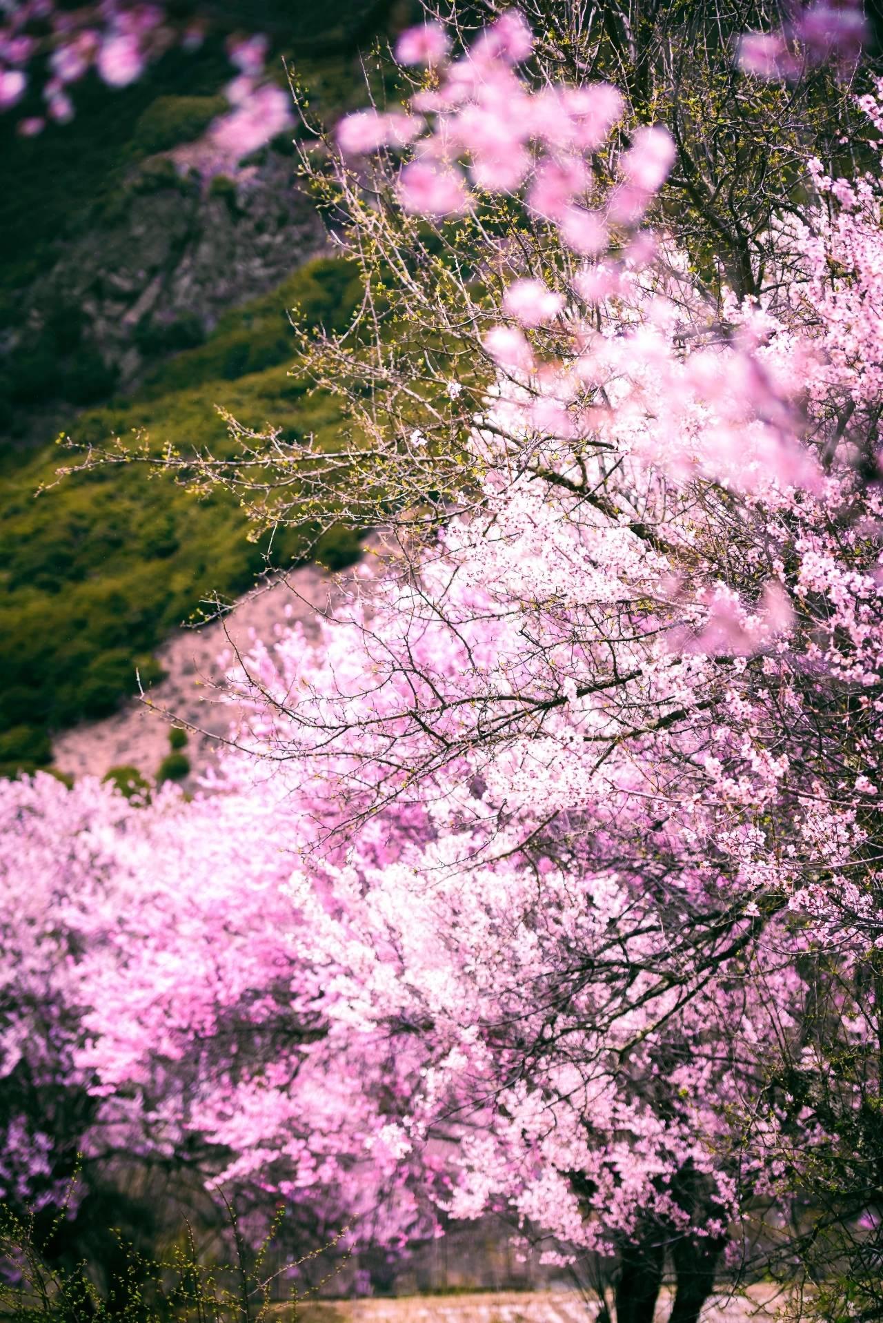 「林芝桃花」春天,我们一起去林芝看桃花