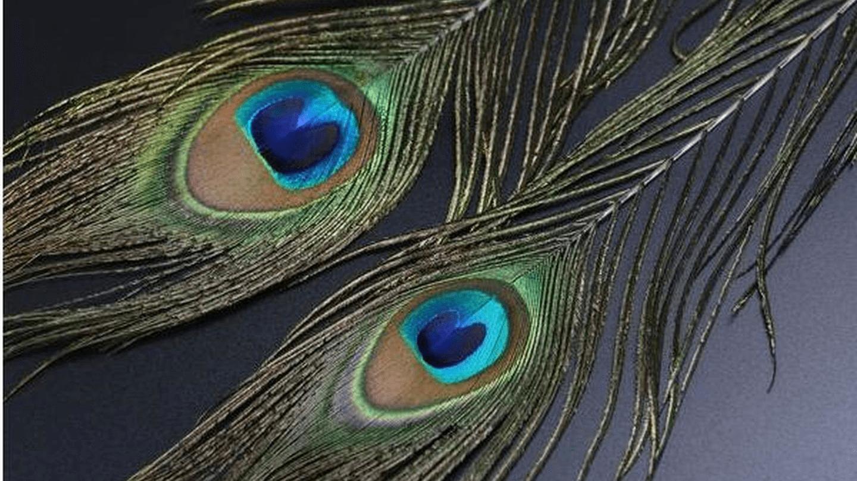 梦见抓孔雀是什么意思 梦到抓住孔雀