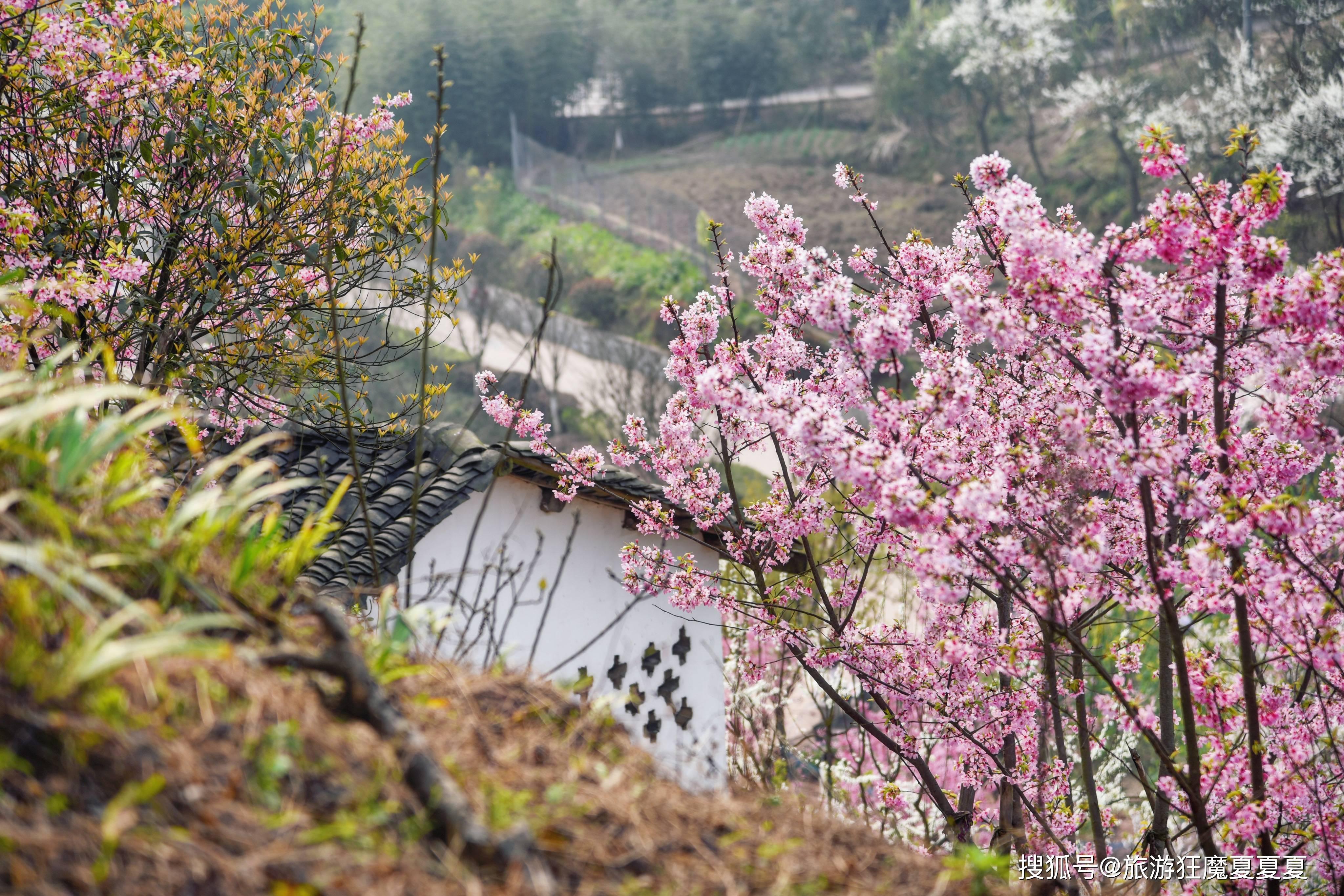 川南最大的樱花谷,万余株樱花竞相开放,好多泸州本地人都不知晓