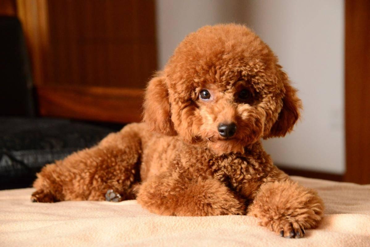 泰迪狗生产后吃些什么 泰迪坐月子食谱