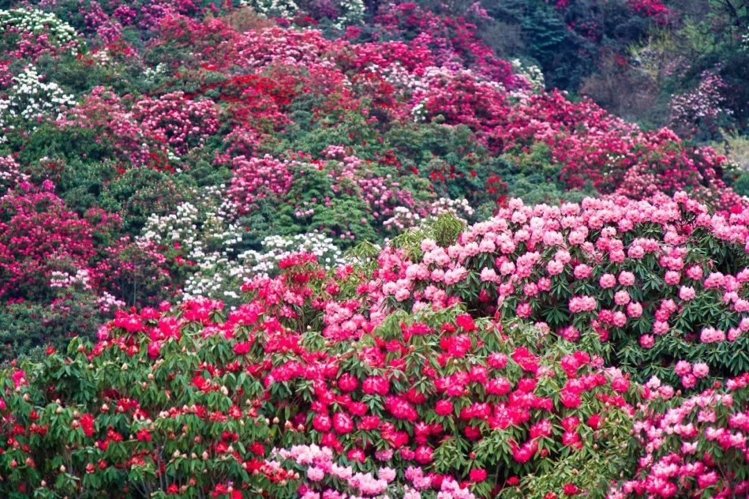 """抖音刷屏!美过欧洲顶级花园,全球""""最大的杜鹃花公园""""在这里!"""