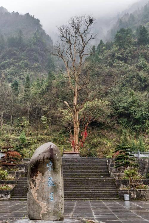 梵净山上最神奇的景观——千年紫薇王,只开花不