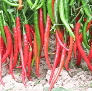 心理测试:你认为哪种辣椒最辣?测测谁是你命中的贵人,不要放过!