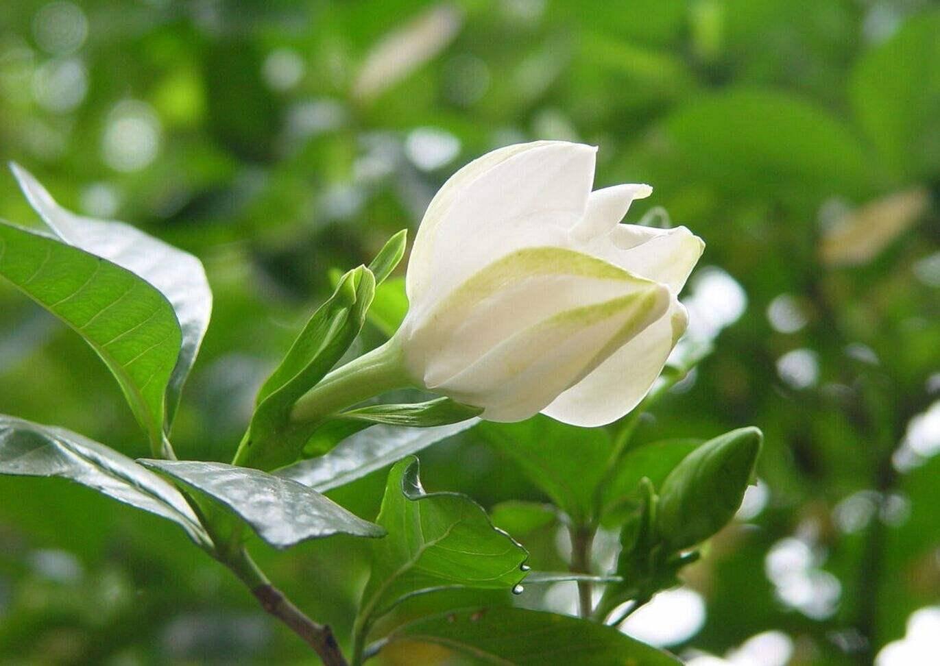 比茉莉栀子花还香的花 是提取香精的原料 开花仙气十足  栀子和茉莉香味的区别