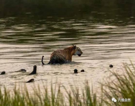 印度一群水獭跟着老虎,似乎在驱逐着孟加拉虎,或许是在保护领地