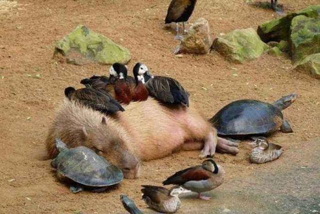 佛系水豚走紅網路,憑著一張厭世臉收穫眾多粉絲,身價不菲