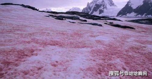 北极现红色的雪,看上去就像一片红色的海洋,它在预示着什么?
