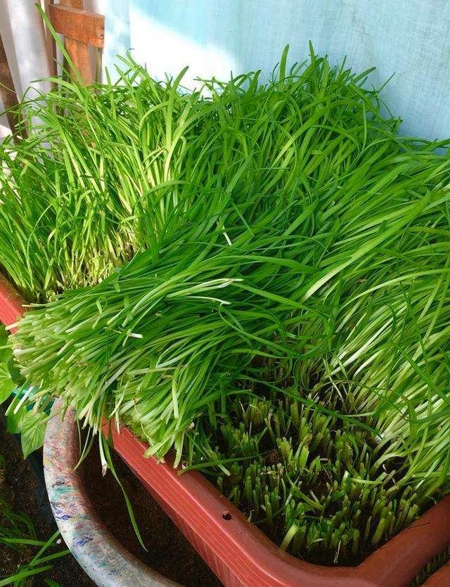 盆栽韭菜又细又黄?注意四点,粗壮如小葱,20天收一茬