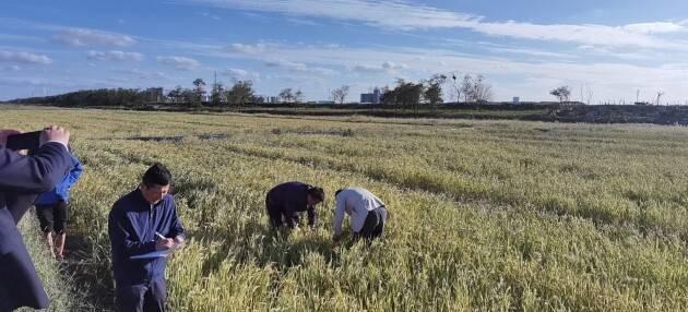 461.5公斤!深企中农海稻将盐城大丰盐碱荒滩变生态粮仓