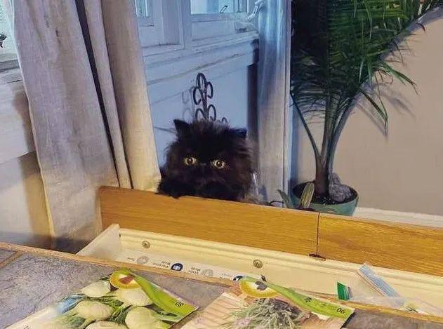 为了围观铲屎官吃饭,短腿小猫咪真的尽力了