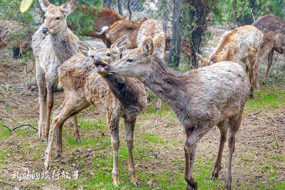 """喂小鹿不用去日本 伏羲山""""云上牧场""""就可满足你 距郑州仅40公里"""