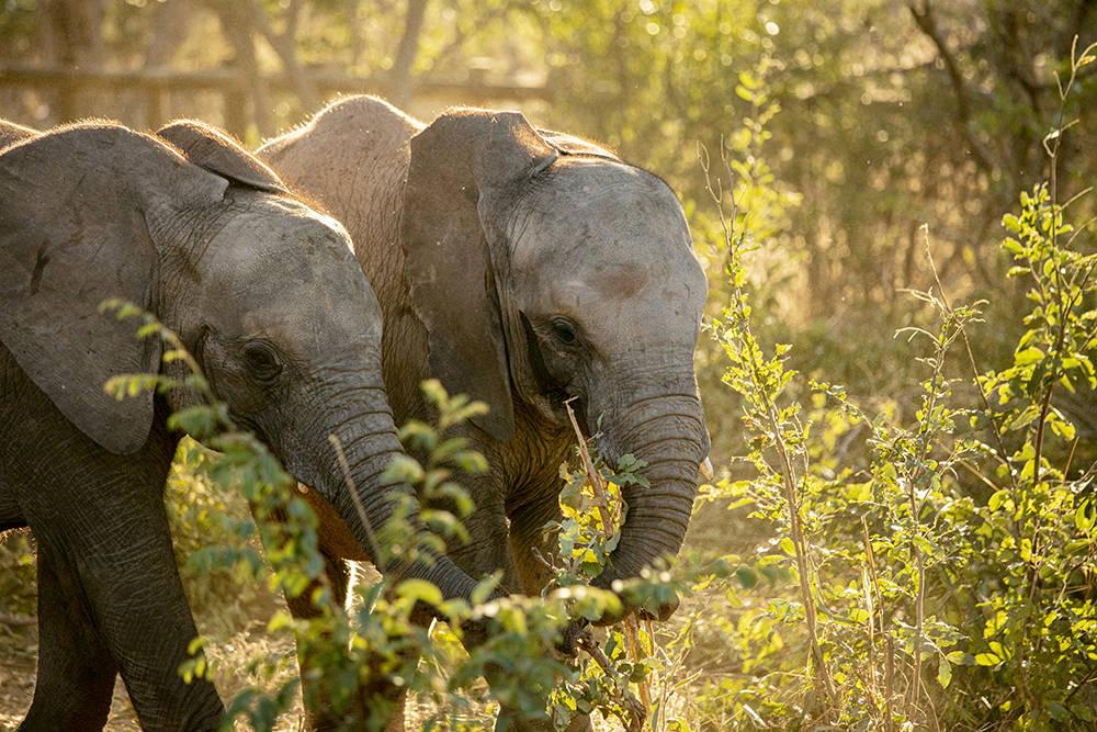 津巴布韦孤儿小象离放归野外保护区又近了一步插图(1)