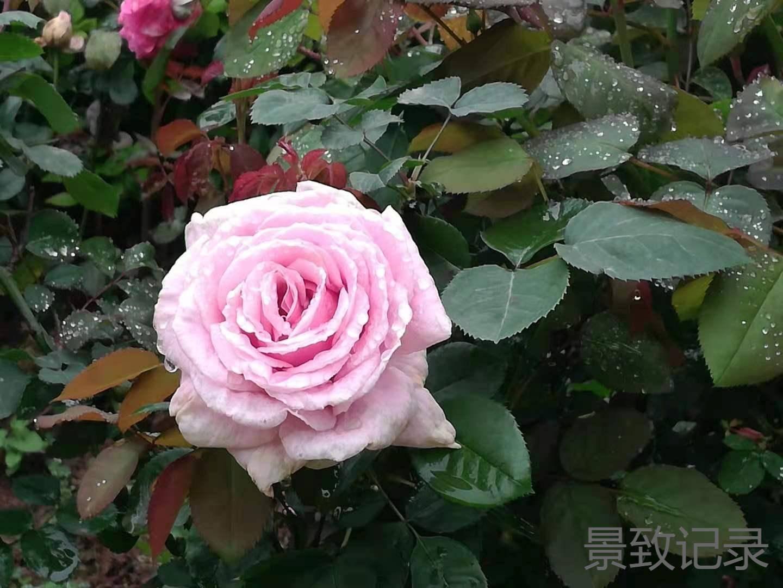 原创             景致记录:看罢重庆市大足区南山的月季,好想给阳台带来一份靓丽