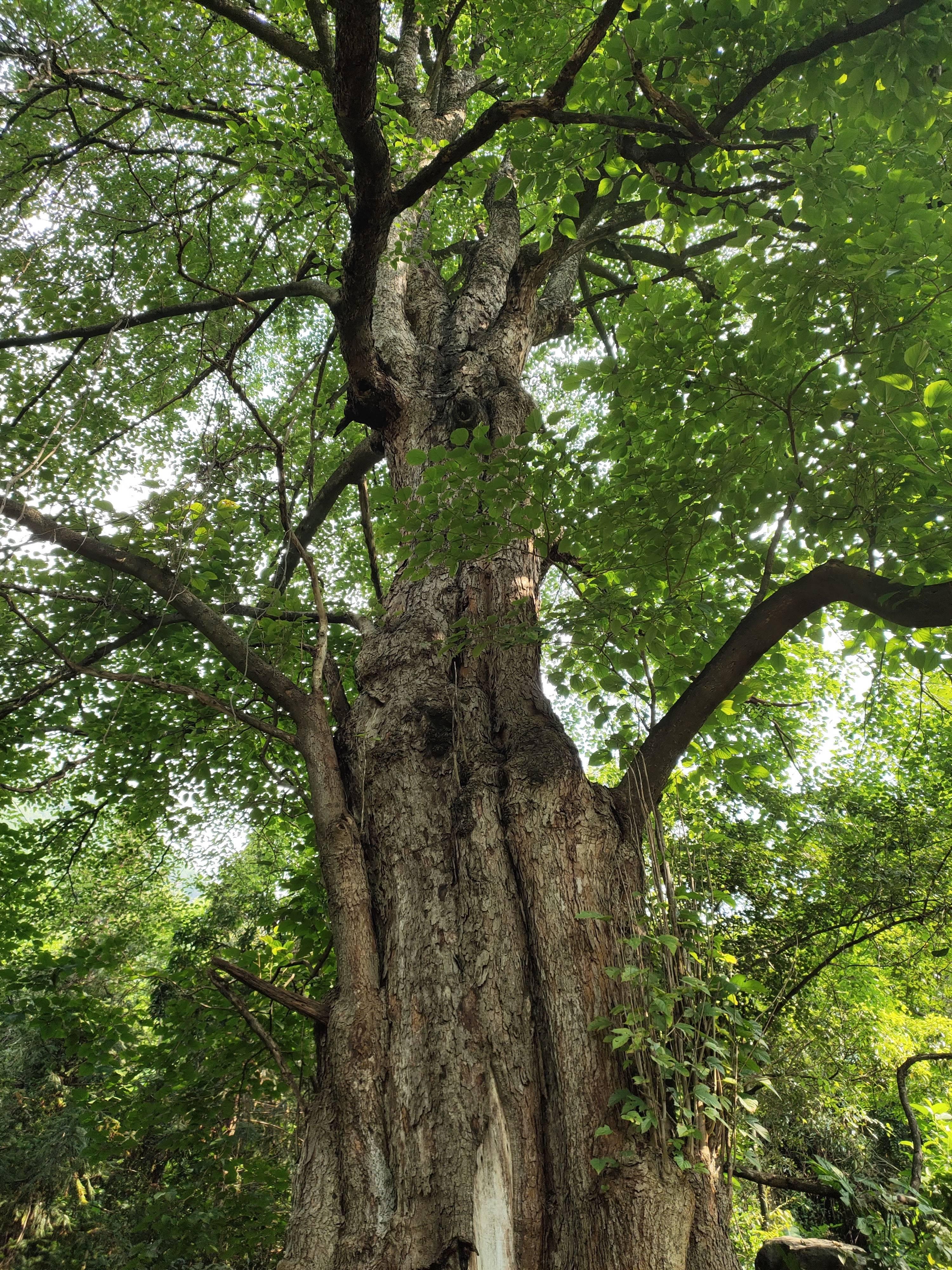 """云南保山这棵千年野生桑树被专家评为""""世界桑树王""""树高49.8米 树冠直径30米"""