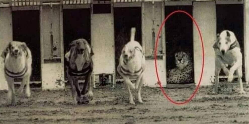 伊布:猎豹无需证明比狗跑得快 他的速度用于狩猎