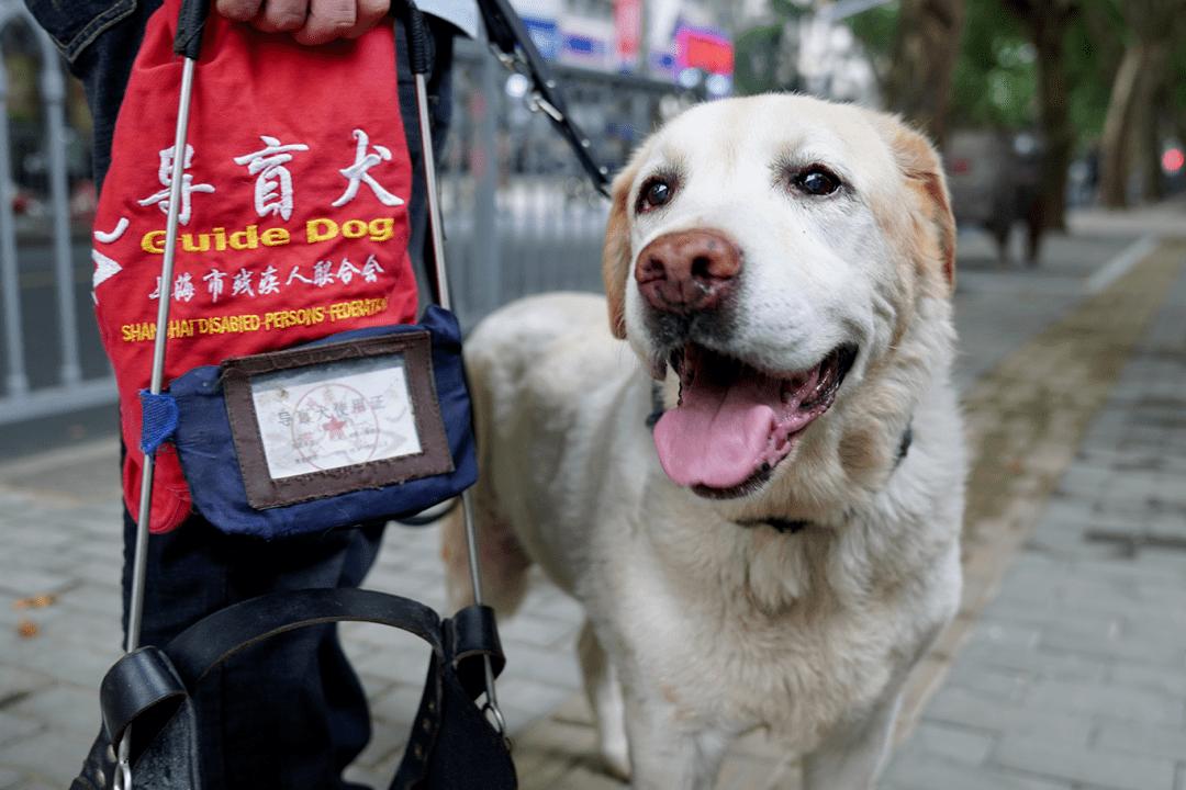 小奶狗为了选上导盲犬有多努力:刚断奶就要接受8项测试