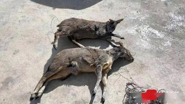 天顺登录:盗猎濒危物种马麝 两男子被刑事拘留_牦牛