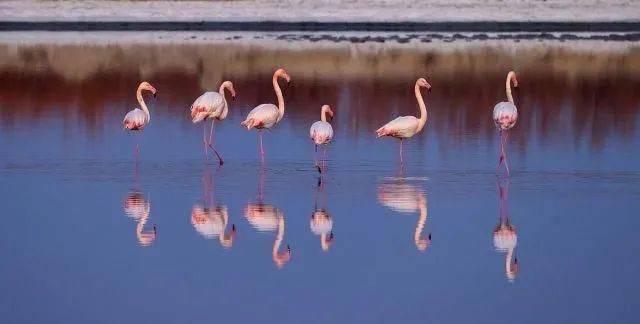 山西运城生态改善,大年初一气温回暖,火烈鸟常年栖息盐湖!  第2张