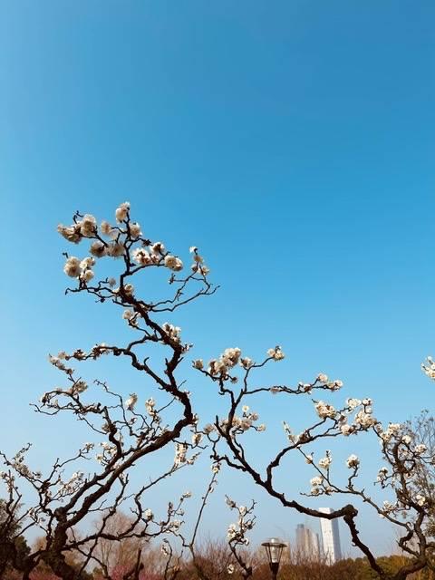 组图丨橘子洲400余树梅花开了