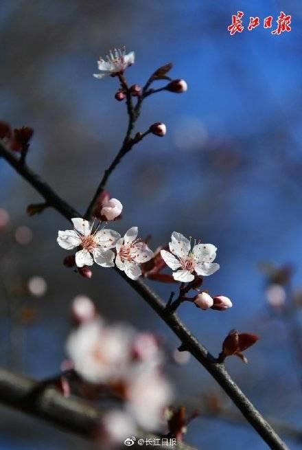 春风吹暖花争艳,梅杏李樱迎春开