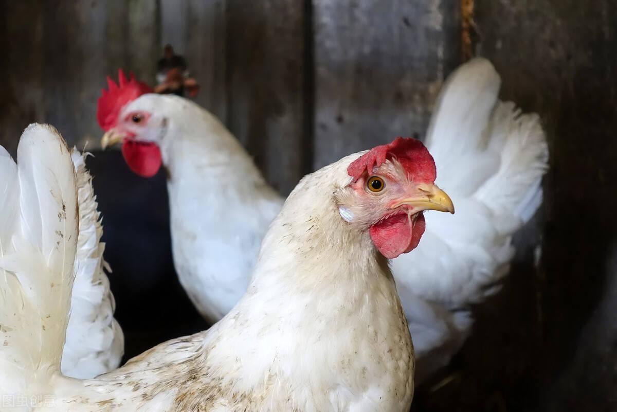 鸡病专业网毛鸡报价中 鸡病专业网肉毛鸡价格