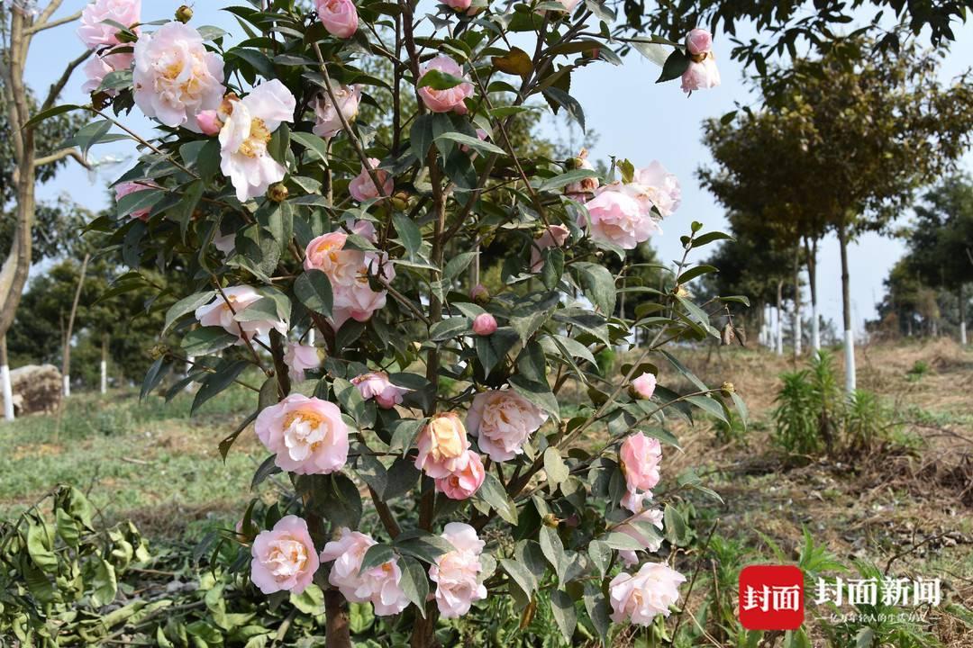 组图|春田赏花,千年荣州等你!