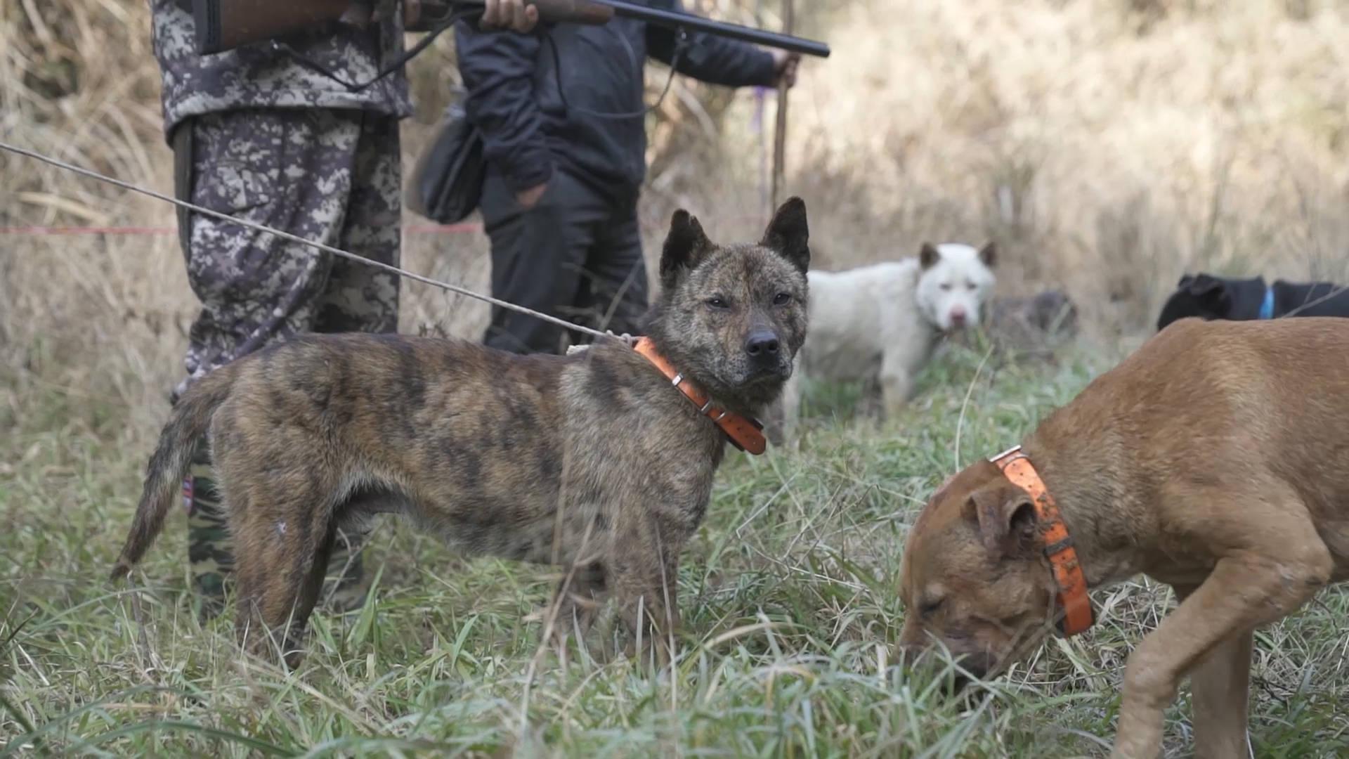 农民自费100多万成立护农狩猎社,1年捕杀300头野猪