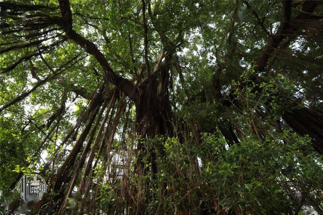 听福州|树界奇葩!劈叉、攀岩毫不费力……