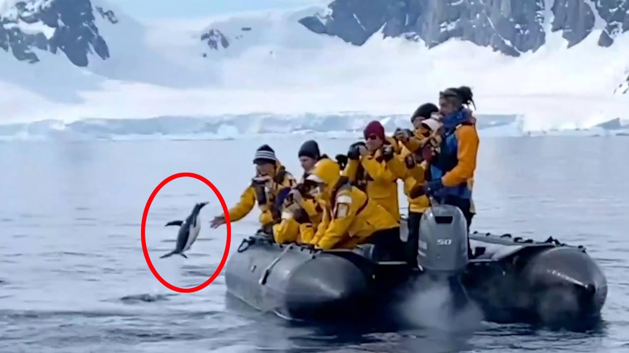 戏剧一幕!企鹅为躲避虎鲸追杀跳上游船 成功逃过一劫【图】