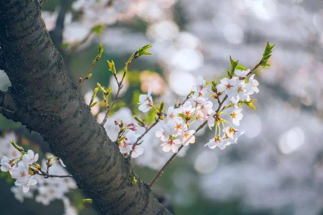 wps下一页:三月桃花开,春天按时来 网络快讯 第11张