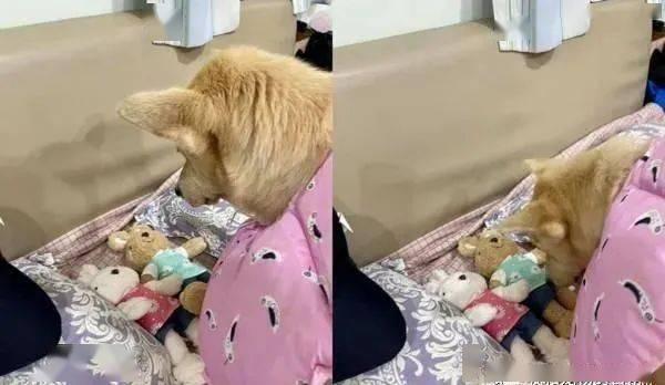 狗狗把布娃娃叼上床排整齐......接下来的举动让饲主完全摸不着头绪!