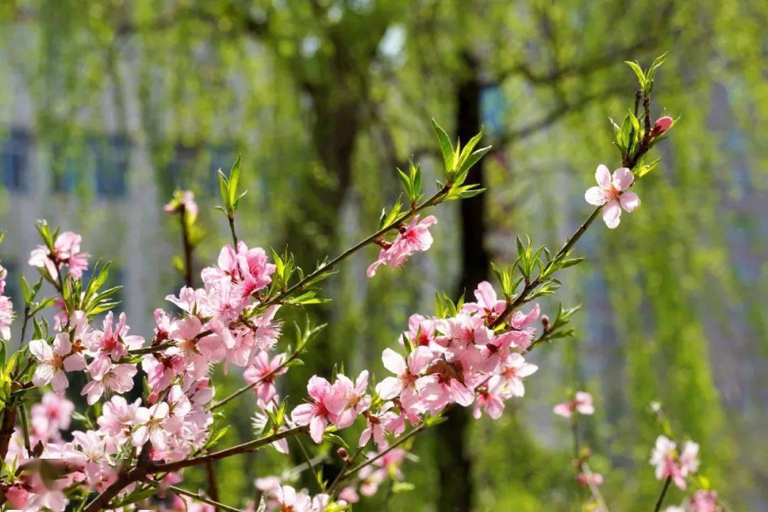 早该火起来的千年古都!一到春天牡丹盛放成海,四月起迎来颜值巅峰……